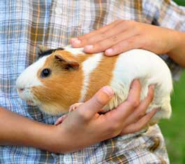 Kids Starter Pet, Guinea Pig