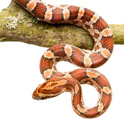 Kids Starter Pet, Corn Snake