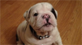 Bentley the Fussy Bulldog Puppy